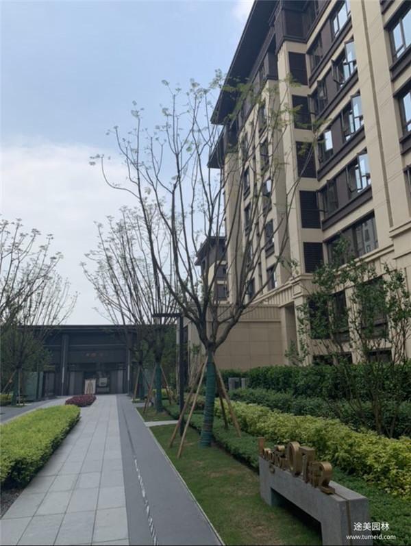 彩叶树工程案例