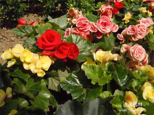 玫瑰海棠图片
