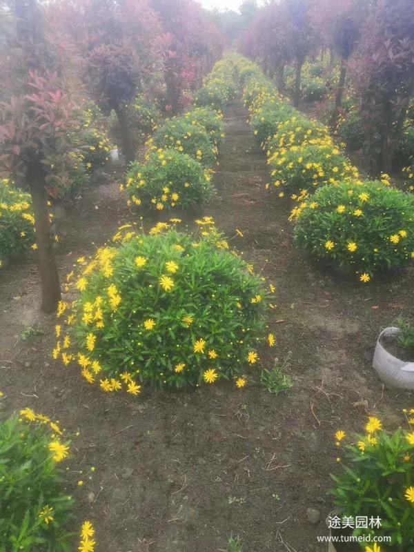 黄金菊图片