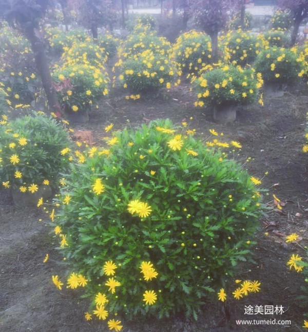 木春菊图片