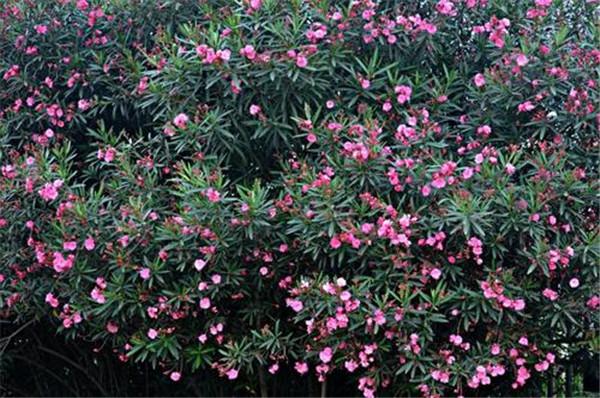 红花夹竹桃