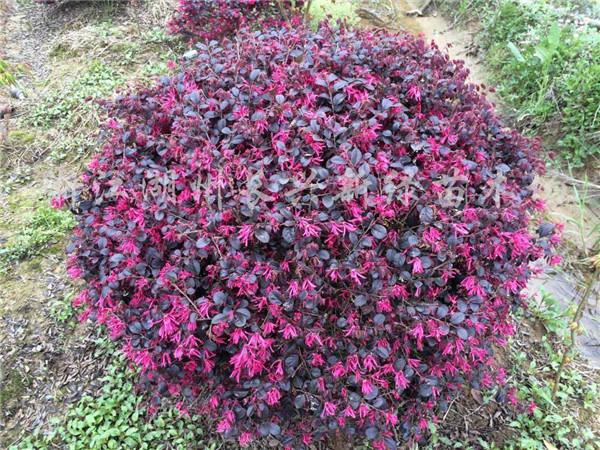 红花继木球基地实拍图