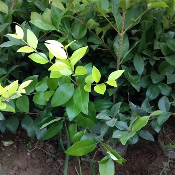 绿化小苗起苗中