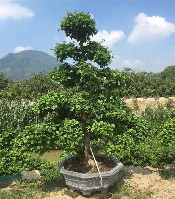 盆栽三角梅未开花时图片