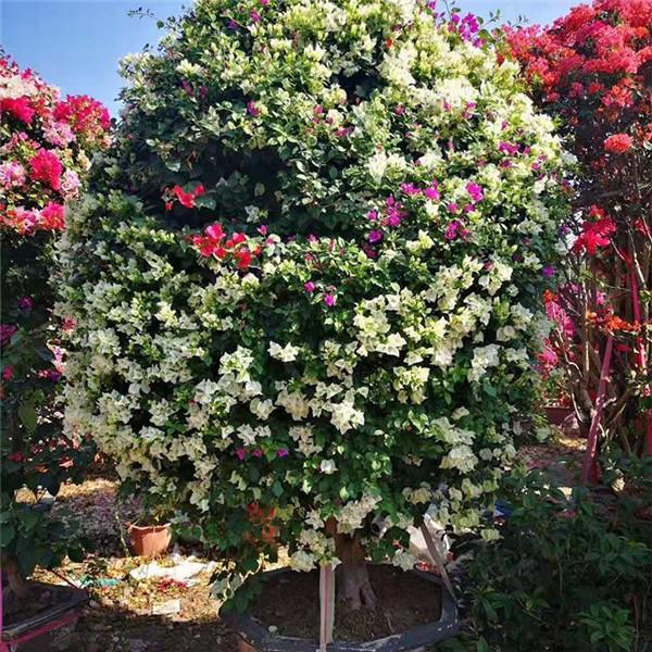 盆栽三角梅树修剪后的图片