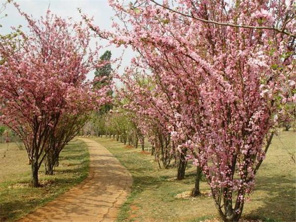 垂丝海棠开花图片