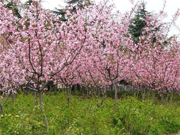 6公分垂丝海棠图片