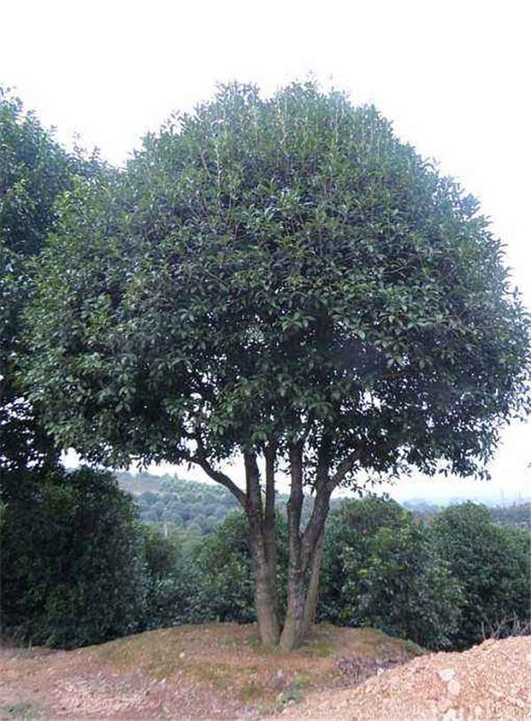 丛生桂花树基地实拍图