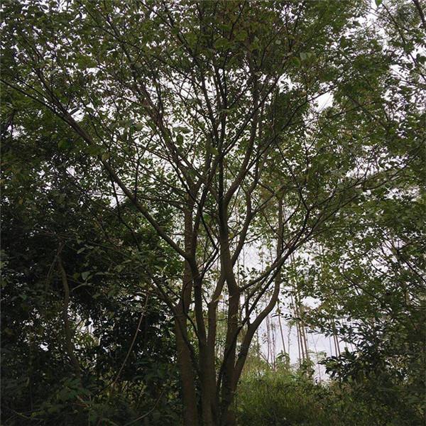 丛生黄连木图片