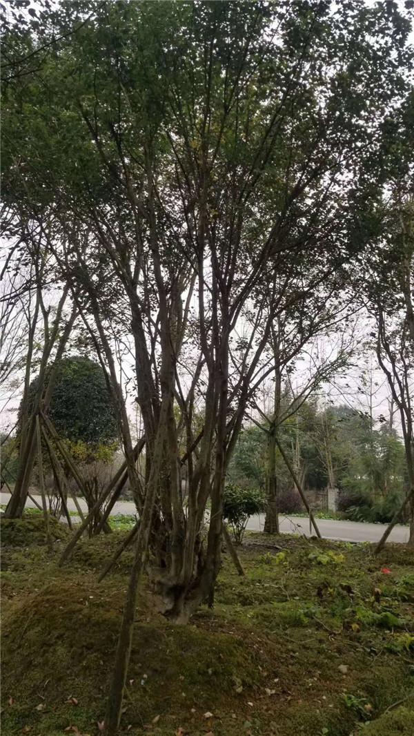 丛生五角枫基地实拍图