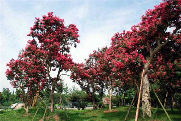 10公分大红紫薇图片