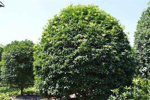 低分枝桂花图片