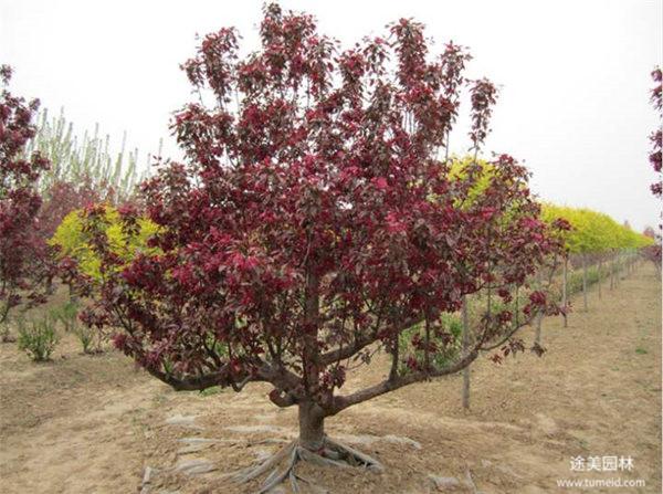 8公分低分枝红叶李图片