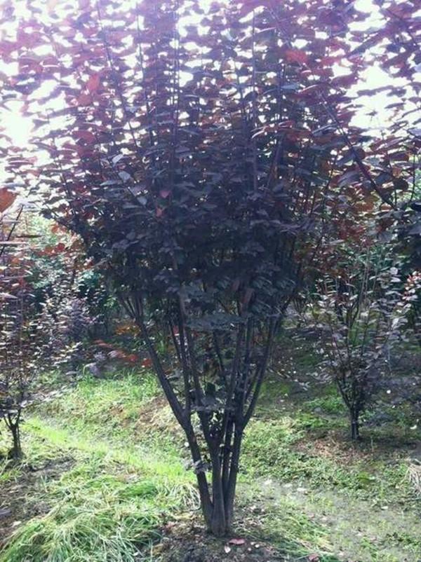 低分枝红叶李图片