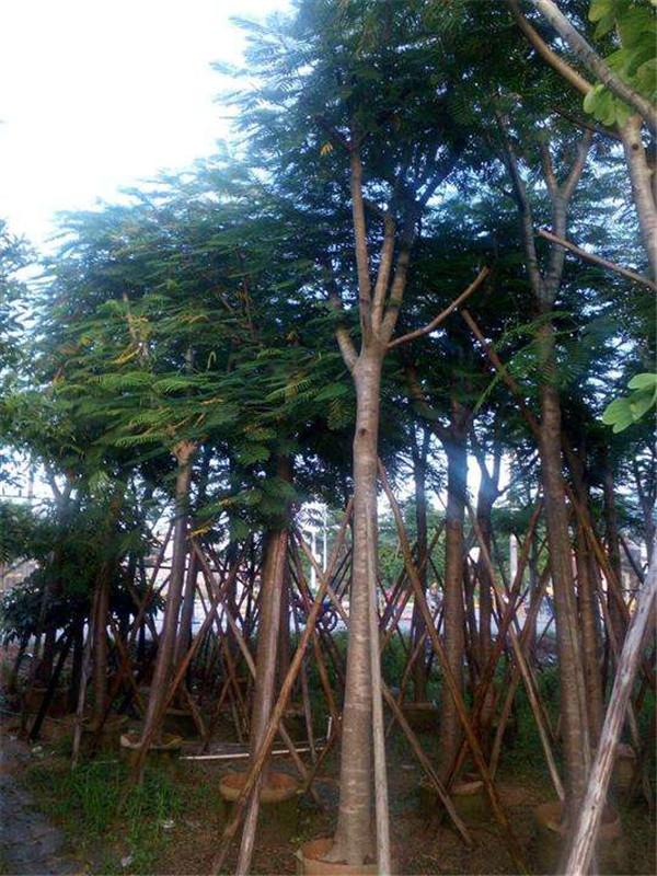 凤凰木图片