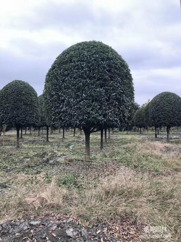 15公分桂花树图片