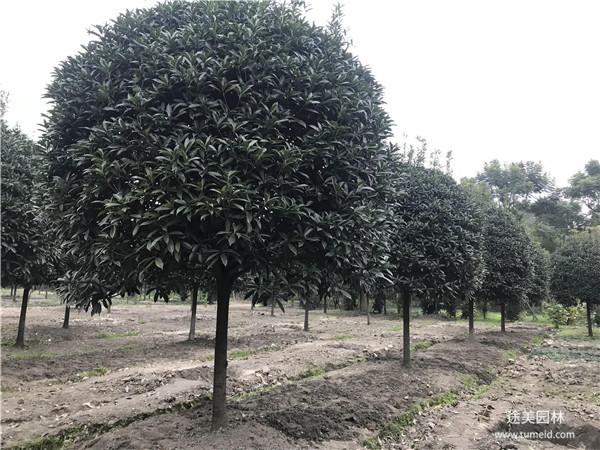 10公分桂花树图片