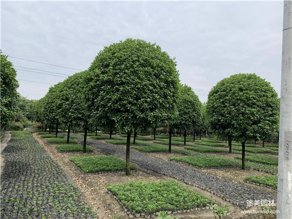 5公分桂花树图片
