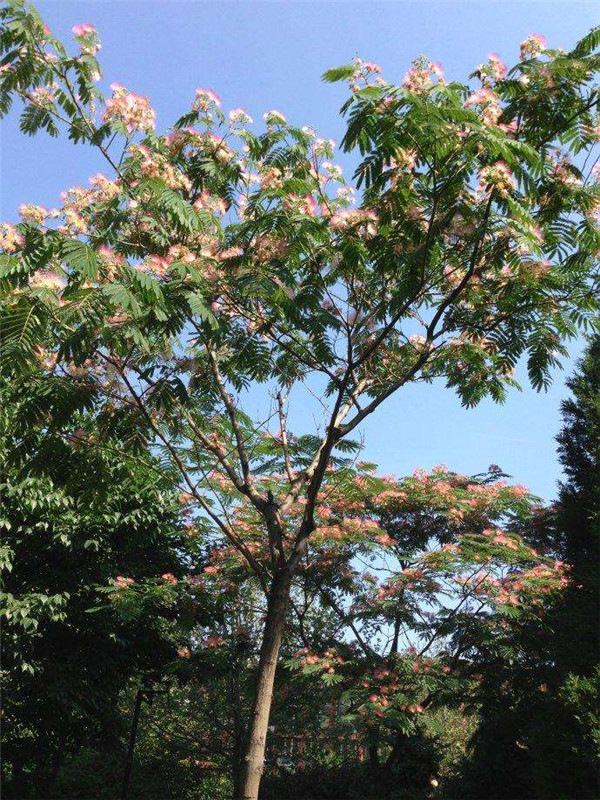 合欢树基地实拍图片