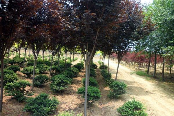 红叶李基地实拍图