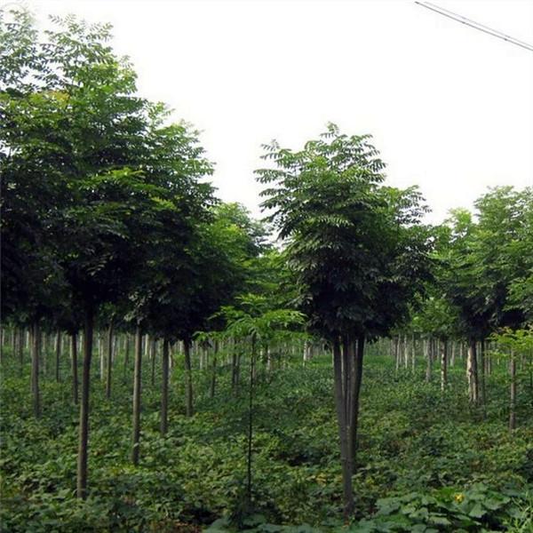黄山栾树基地实拍图
