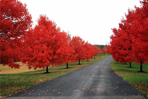 美国红枫图片