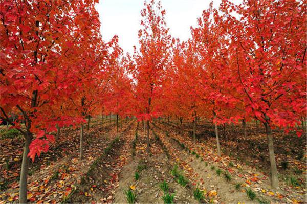 6公分美国红枫图片