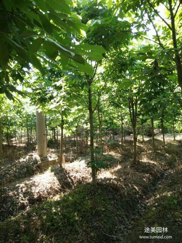 七叶树图片