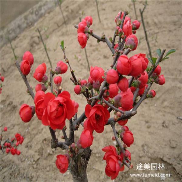 日本海棠实拍图