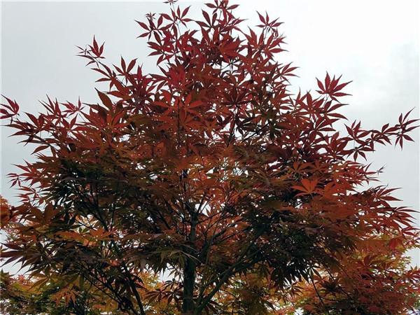 日本红枫基地实拍图