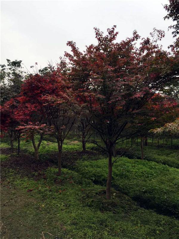 6公分日本红枫图片
