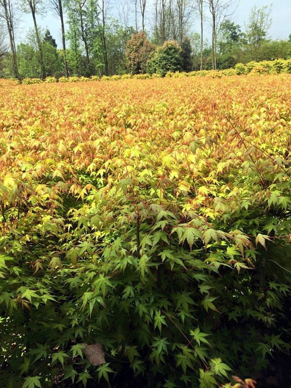 8公分日本红枫图片