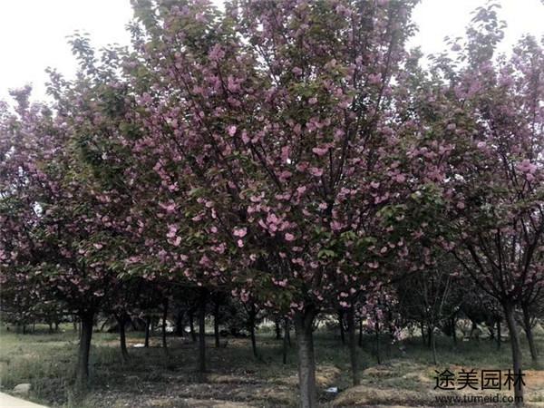 8公分日本樱花图片