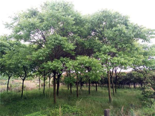 无患子大树基地实拍图