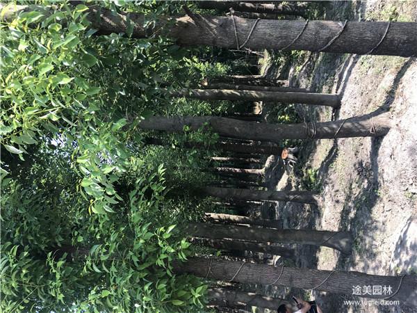 15公分香樟树图片
