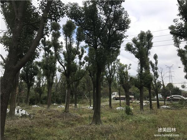 成都20公分香樟树图片
