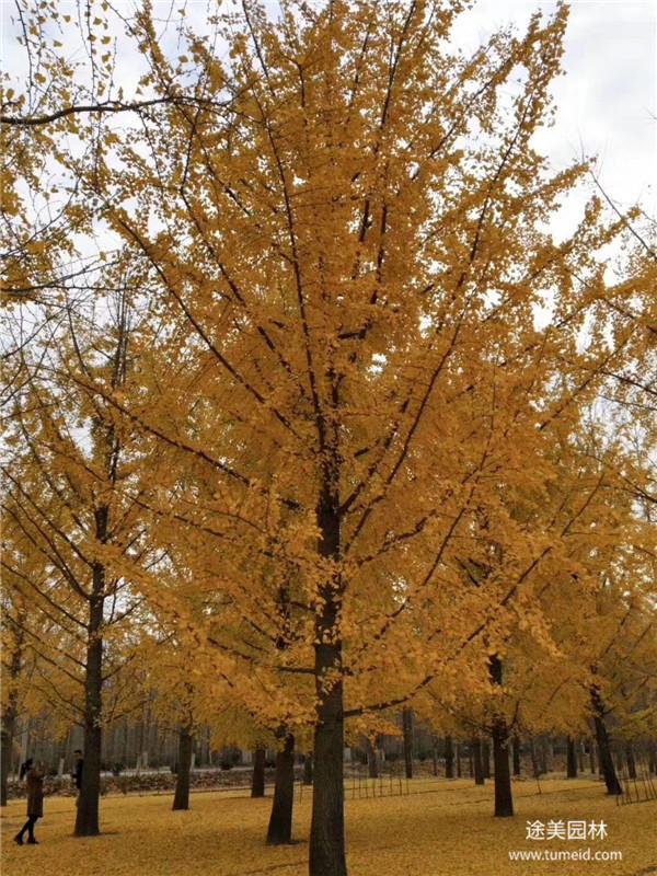 银杏树基地实拍图