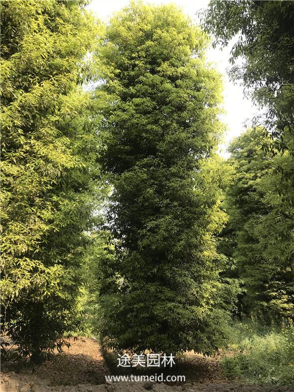 桢楠树图片