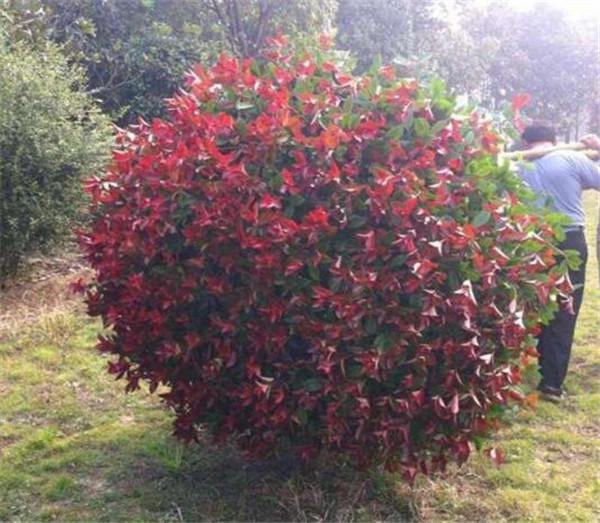 红叶石楠球图片