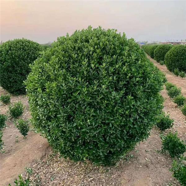 黄杨球基地实拍图片