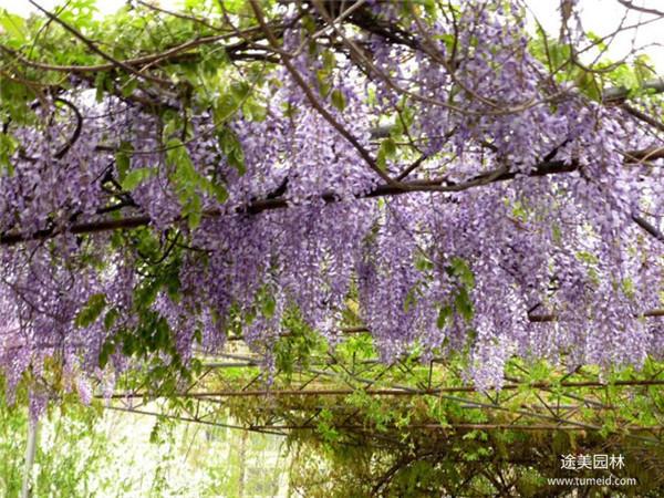 紫藤苗圃基地紫藤实拍图