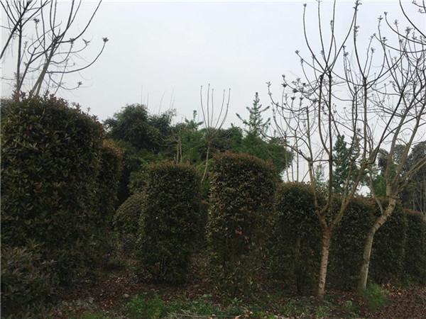 红叶石楠柱图片